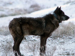 Wolf with mange